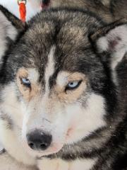 Chiens de traineau en Laponie chez l'habitant